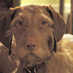 Ruffy Roo, a wire-haired Hungarian Vizsla