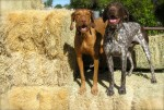huntin' dogs ready to hunt!